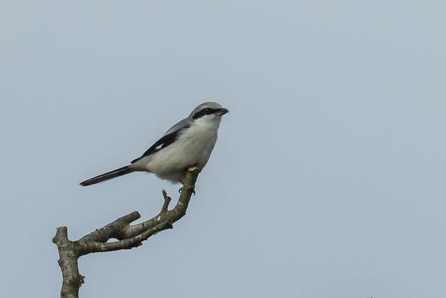 La Pie-grièche grise, sujet du dernier article du bird-blog d'Une histoire de plumes