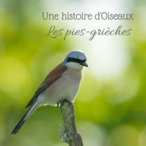 Les pies-grièches, sujet du dernier article du bird-blog d'Une histoire de plumes