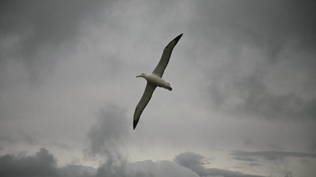 Le poussin de l'Albatros royal du sud, sujet du dernier article du bird-blog d'une histoire de plumes