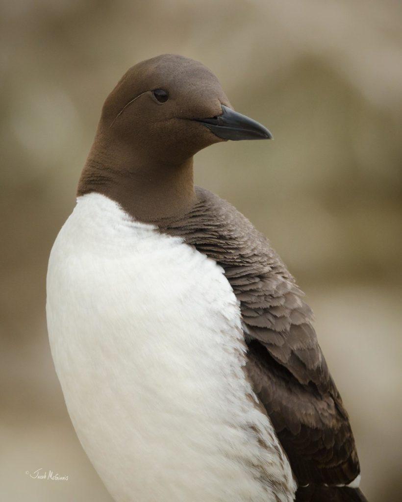 Le poussin de guillemot de Troïl, sujet du dernier article du bird-blog d'une histoire de plumes
