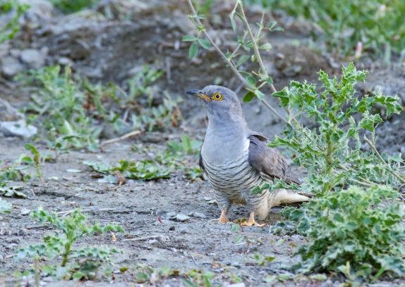 Le Coucou gris, sujet du dernier article du bird-blog d'une histoire de plumes