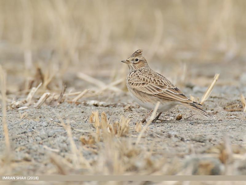 l'Alouette des champs, sujet du dernier article du bird-blog d'une histoire de plumes