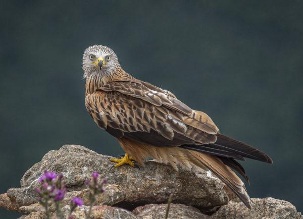 Le Milan royal, sujet du dernier article du bird-blog d'une histoire de plumes